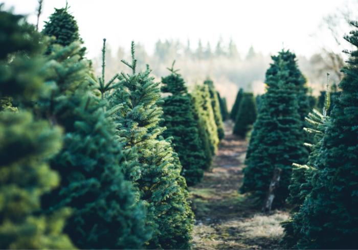 christmas tree - Amazon Com Christmas Trees